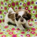 Adorable Female Shih Tzu Puppy