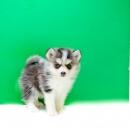 AKC registered Pomsky puppy is 12 weeks old