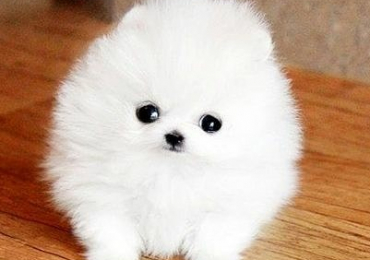 Pomeranian puppies available for free