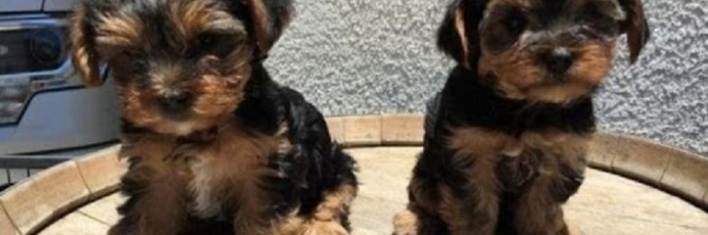 TeacupYorkie Puppiesfor Sale  near me