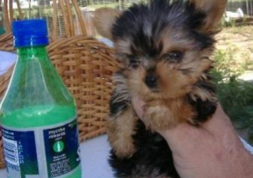 Free Tcup Yorkie puppy to a good home