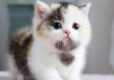 Standard Munchkin kitten with short legs for sale