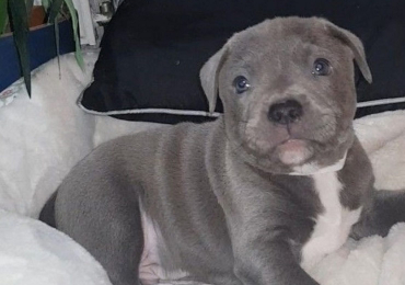 Staffordshire bull terriers Puppies