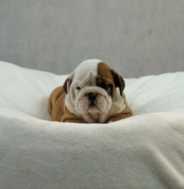 Priceless English Bulldog puppies for Re-homing